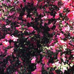 山茶花/椿/沢山/花/フォロー大歓迎/風景 今日は、外まわりで沢山、咲いていたので立…