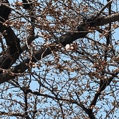 春/開花/大きな桜の木/桜🌸/フォロー大歓迎/風景/... 今年初、会社の大きな桜の木🌸 蕾から花🌸…
