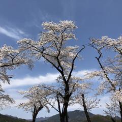 桜/手作り/よもぎ餅/散歩 実家近くの桜を見に散歩 桜の木の下にはヨ…