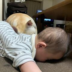 犬/赤ちゃん/フレブル/フレブルフレンチブルドッグ/鼻ぺちゃ/LIMIAペット同好会/... わたちU´•ﻌ•`Uは眠いのに 頑張って…(4枚目)