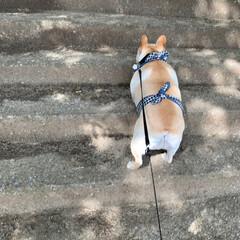 ネンネ/お散歩/フレンチブルドッグクリーム/フレブル/フレンチブルドッグ/鼻ぺちゃ/... ママが作ってくれたクールエプロン💕 今日…(5枚目)