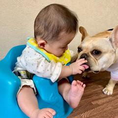 赤ちゃんと犬/赤ちゃん/鼻ぺちゃ/ぶさかわ/フレンチブルドッグ/フレブル/... パパが新しい椅子を買ってくれたよ✨  早…