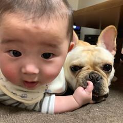 犬/赤ちゃん/フレブル/フレブルフレンチブルドッグ/鼻ぺちゃ/LIMIAペット同好会/... わたちU´•ﻌ•`Uは眠いのに 頑張って…(3枚目)
