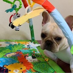 ベビー/おもちゃ/赤ちゃん/フォロー大歓迎/ペット/犬 2ヶ月に入りパパがベビージム買ってくれた…(2枚目)