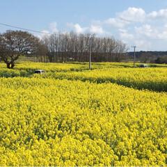春の一枚 大分県の国東半島 長崎鼻では岬全体が菜の…
