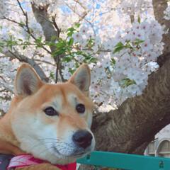 お花見🌸/ニコちゃん/柴犬/イヌ🐕/春の一枚 にことさくら