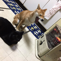 ニコちゃん/柴犬/クロちゃん/黒猫/フォロー大歓迎/ペット/... ふあぁぁぁっ〜 さみぃっっ