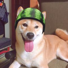 にこちゃん🐕/柴犬/LIMIAペット同好会/わんこ同好会 ネコ用の カメラアプリだけど 撮れたよ …(1枚目)