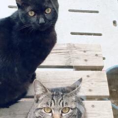 おタマちゃん/クロちゃん/猫/にゃんこ同好会/ペット 本格的な飼い猫になる前の ワイルドなあの…