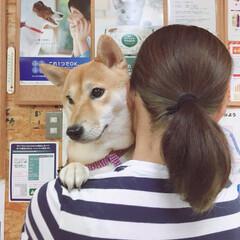 注射/動物病院/にこちゃん/柴犬/ペット/犬 動物病院の待合室 平成のビビリ犬🐕 不安…