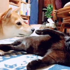 にこちゃん🐕/柴犬/クロちゃん🐈/猫派/犬派/LIMIAペット同好会/... 気になるよ🐕 気にしないで🐈 の攻防戦 …