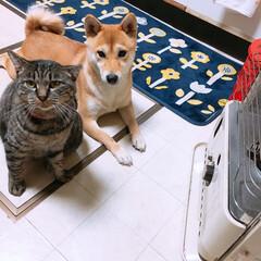 タマちゃん/柴犬/ニコちゃん/犬/猫/ペット ストーブのまえでは、 フィフティーフィフ…