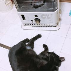 クロちゃん/冬/猫/ペット 鬼の🐕 居ぬ間に ねっころがっとく