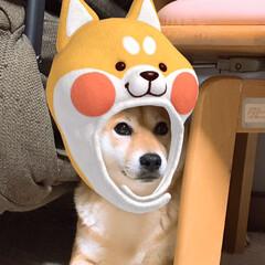 顔認証アプリ/柴犬/にこちゃん/犬🐶/うちの子ベストショット 顔認証に成功しました😉