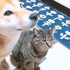 タマちゃん/ニコちゃん/柴犬/フォロー大歓迎/ペット/ペット仲間募集/... 珍しいツーショット。  タマちゃんを撮ろ…