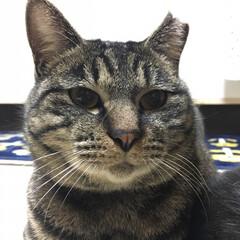 タマちゃん/猫/にゃんこ同好会 おタマちゃんのおちょぼ口