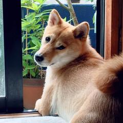 にこちゃん🐕/柴犬/令和元年フォト投稿キャンペーン/フォロー大歓迎/LIMIAペット同好会/わんこ同好会 だいぶ 夏毛に なりました
