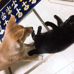 ニコちゃん/柴犬/クロちゃん/フォロー大歓迎/犬/猫/... 壮絶な縄張り争い🔥
