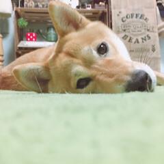 にこちゃん🐕/柴犬/令和元年フォト投稿キャンペーン/フォロー大歓迎/LIMIAペット同好会/わんこ同好会/... 寝る直前のかお