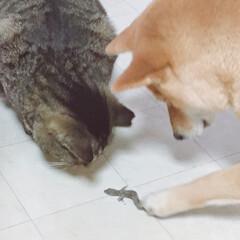 ニコちゃん/柴犬/イヌ🐕/おタマちゃん/ネコ🐈 なんかねぇ 獲ってきたのぉ