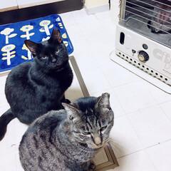 タマちゃん/クロちゃん/猫/にゃんこ同好会/ペット  鬼(にこちゃん🐕)の居ぬ間に火に当たる…