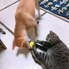 タマちゃん/ニコちゃん/犬/猫/ペット どちらも全力な ボール🥎の取りっこ