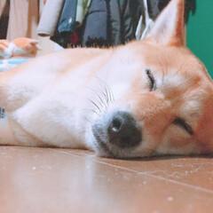 にこちゃん/柴犬/イヌ🐕/春のフォト投稿キャンペーン/フォロー大歓迎/LIMIAペット同好会/... ネコろんで寝るね 💤(1枚目)
