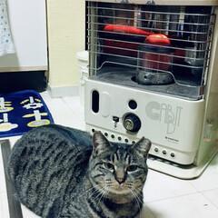 タマちゃん/冬/猫 おタマちゃんの独り占め