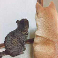 おタマちゃん/ニコちゃん/柴犬/犬🐶/猫/うちの子ベストショット あっちに なにが あるのかな