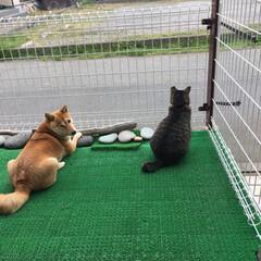 おタマちゃん/ニコちゃん/柴犬/犬🐶/猫/うちの子ベストショット 仲良いとこ みーつけた👀