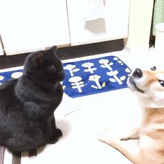 ニコちゃん/柴犬/クロちゃん/フォロー大歓迎/犬/猫/... いじわるなんだよねぇ🤨 わざわざ、 クロ…