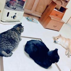 にこちゃん/柴犬/クロちゃん/おタマちゃん/犬/猫 一家団欒