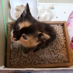 子猫/三毛猫/里親探し 昨日 近くの公園で迷い猫か、捨て猫か??…