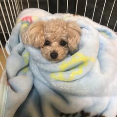 リラックス/わんこ同好会/犬好き/ワンコ/犬/フォロー大歓迎 寒くて毛布にくるまっています笑