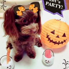 犬好きな人と繋がりたい/ハロウィン仮装/ハロウィン/ミックス犬/チワプー/ハロウィン2019/... 👻🎃HAPPY HALLOWEEN🎃👻🎵
