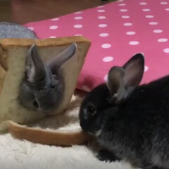 ペット/パン/うさぎ/兄妹/好物/Rabbit/... 食いしん坊のウサギ兄妹🐰🐰 食パン被って…