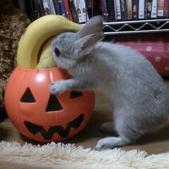 うさぎ/かぼちゃ/ハロウィン/ペット ハロウィンの日まで待てませーん🎃🍌😋🧡
