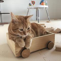 マンチカン/箱入り息子/猫 積木で遊ぶ息子を、積木箱から見守る総司🐱…