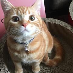 マンチカン/ペット/猫 わが家の次男の総司🐱が、うちにきたばかり…