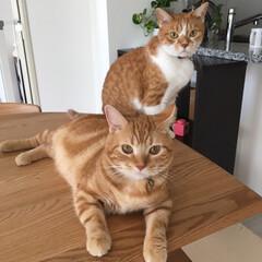 マンチカン/ペット/猫 わが家のイケメン兄弟、清盛(10歳)と総…(1枚目)