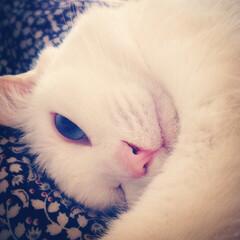 オッドアイ白猫/オッドアイ猫/白黒猫/cat 上目遣い猫🐾