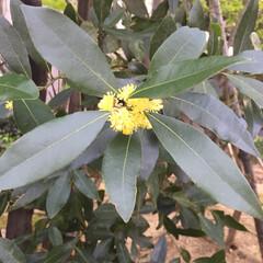 お気に入り 珍しい 月桂樹 の 花 です。