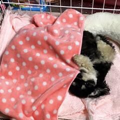 超小型犬/室内犬/まゆげ犬/ミックス犬/チワワ×プードル/ブラックタン/... クーラーで寝冷えしないようにお布団を引き…