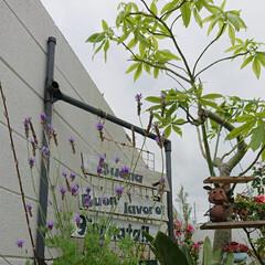 """緑のある暮らし/うちの庭/レースラベンダー/パキラの木/塩ビパイプ/端材リメイク/... 庭に """"レースラベンダー""""っての 植えて…"""