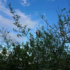 癒し風景/オリーブの木/植物ある暮らし/住まい/暮らし The☆。秋晴れ*・゜ オリーブの木と …