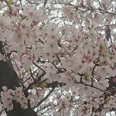 満開の目黒川🌸/春のフォト投稿キャンペーン/はじめてフォト投稿