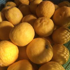 柚子/よし味/二川/豊橋/ハンドメイド/グルメ/... 大量の 柚子 ❗️   《自家製柚子胡椒…