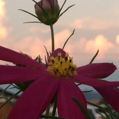 夏空/温泉/令和の一枚/おでかけ/旅行/風景/... 暑ぅ〜い一日でしたぁ☀️  コスモスの湯…(3枚目)