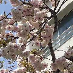暮らし 買い物途中お花見 近くの中学校の八重桜が…