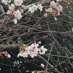 春よ来い/桜咲く 西長居公園の桜咲き始めました。 三枚目の…